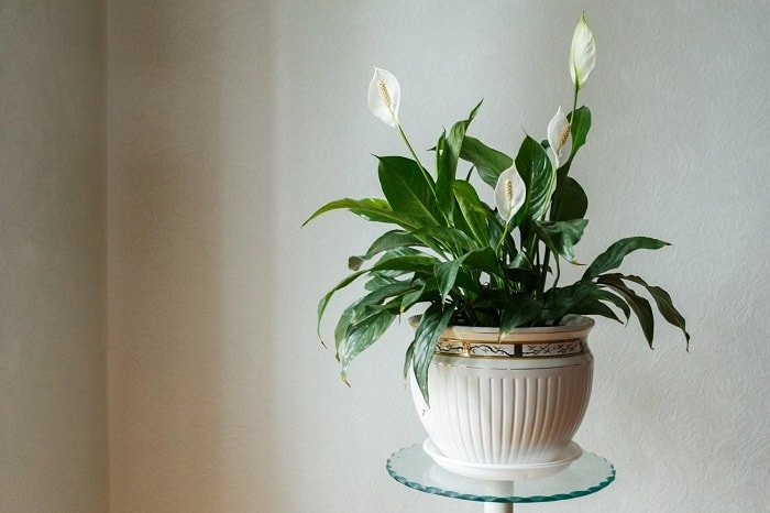 How the Peace Lily Differs from Other Lilies