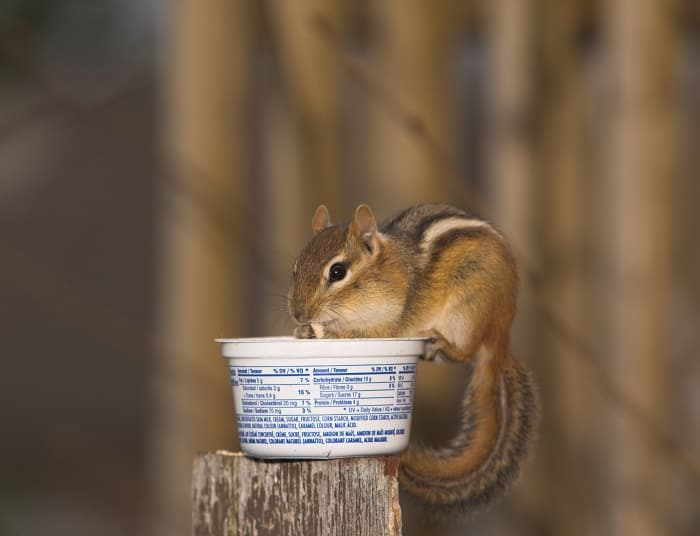 How to Keep Chipmunks Out of Gardens?