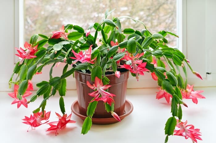 The Best Potting Soil for the Christmas Cactus