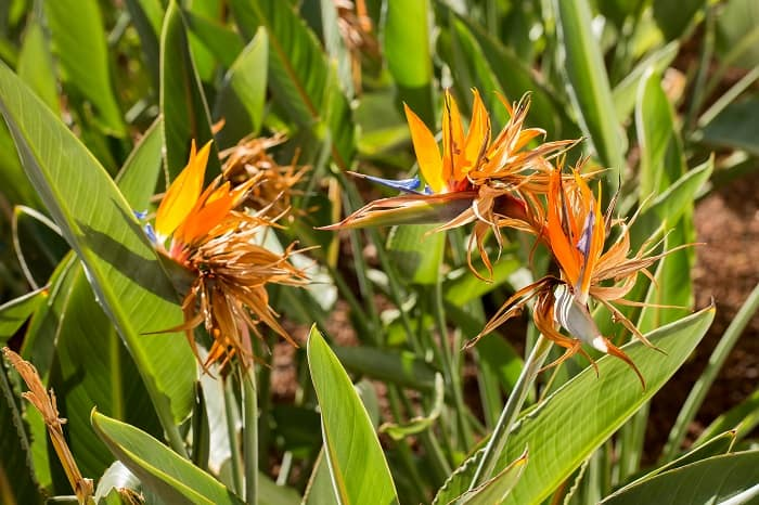 Why Are Your Bird of Paradise Plant Leaves Curling